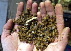mortandad-abejas